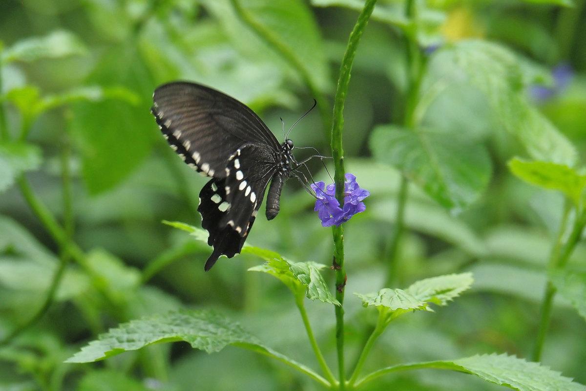 在りし日、南国の蝶達と楽しむ。 シロオビアゲハ(2021/past days)②_d0387460_15533387.jpg