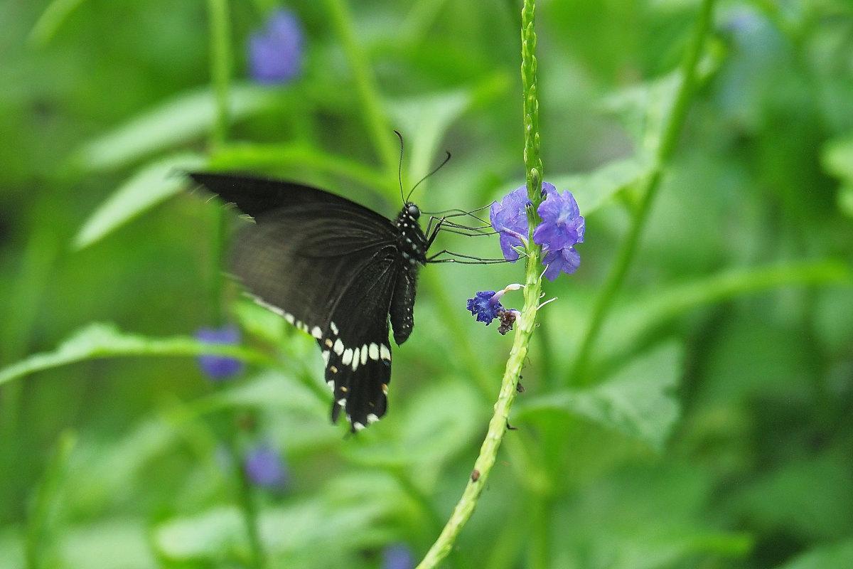 在りし日、南国の蝶達と楽しむ。 シロオビアゲハ(2021/past days)②_d0387460_15534339.jpg