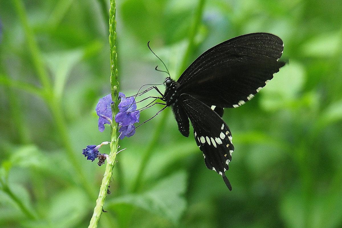 在りし日、南国の蝶達と楽しむ。 シロオビアゲハ(2021/past days)②_d0387460_15535840.jpg