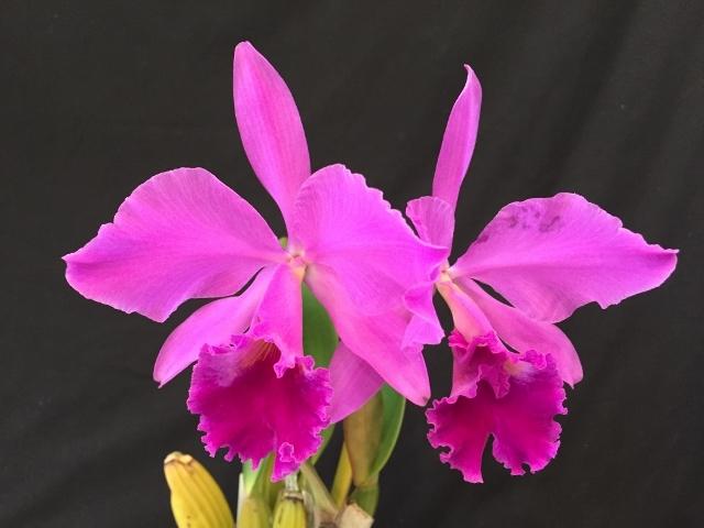 C.labiata fma.rubra \'Shuller\'_d0007501_09015850.jpg