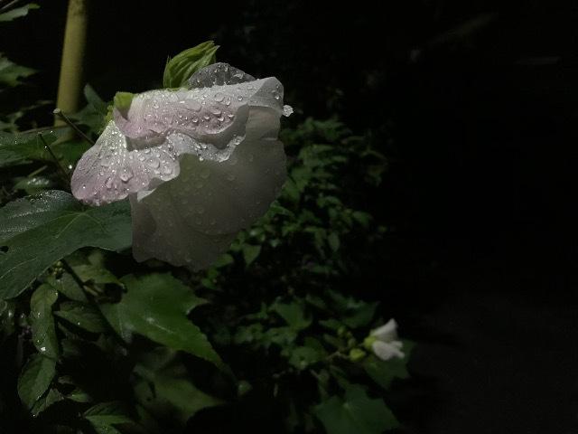 夜更かしのスイフヨウ_f0086618_22074688.jpg
