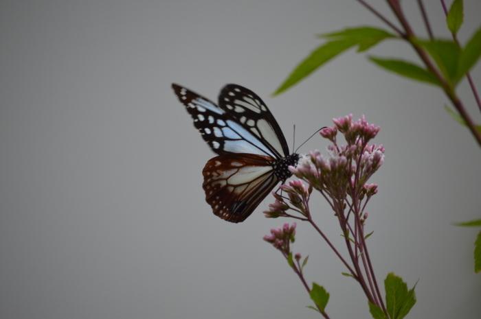 庭に来た!アサギマダラ 10月19日_d0254540_19492339.jpg
