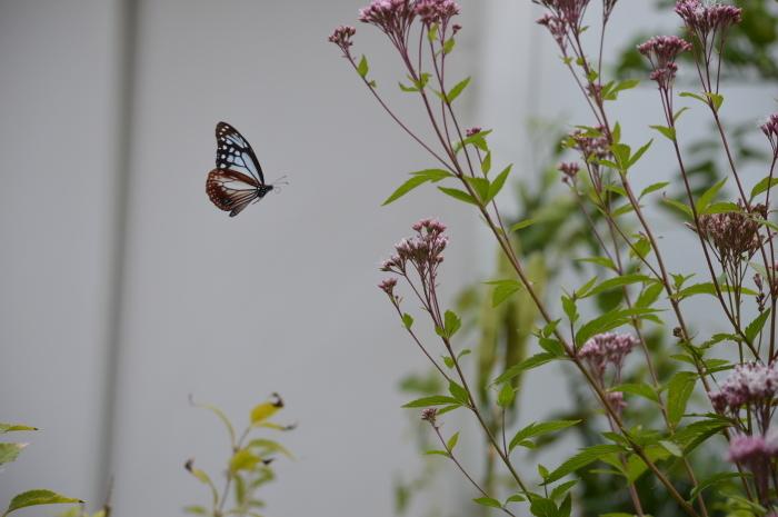 庭に来た!アサギマダラ 10月19日_d0254540_19495037.jpg