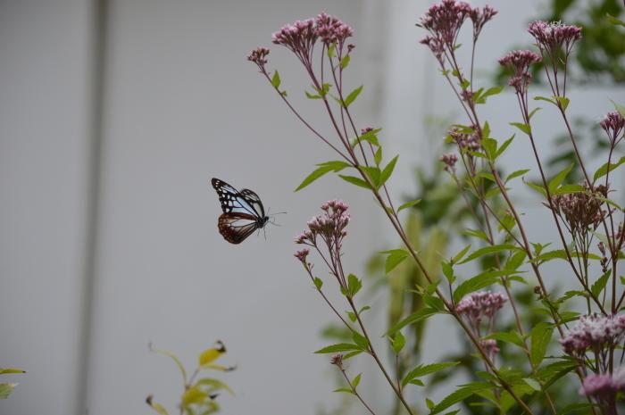 庭に来た!アサギマダラ 10月19日_d0254540_19500776.jpg