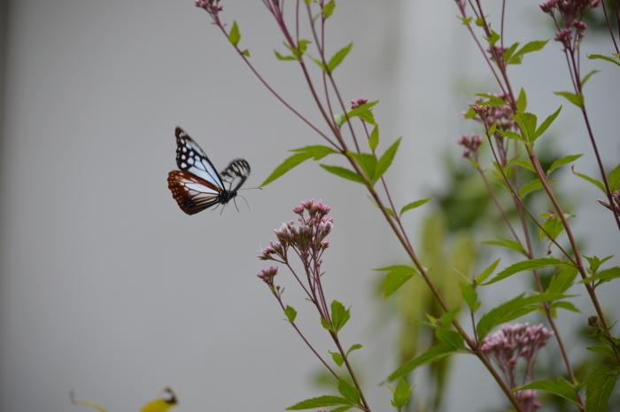庭に来た!アサギマダラ 10月19日_d0254540_19502973.jpg