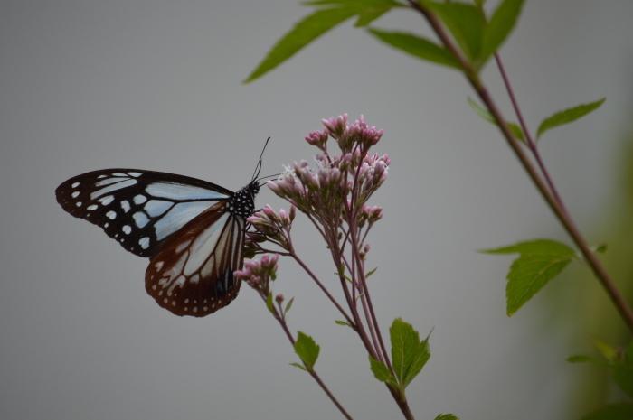 庭に来た!アサギマダラ 10月19日_d0254540_19532097.jpg