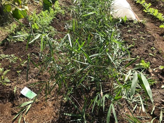 超極早生タマネギの苗50本植え付け10・18_c0014967_17581260.jpg