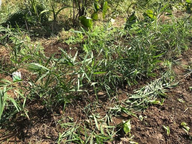 超極早生タマネギの苗50本植え付け10・18_c0014967_17590434.jpg