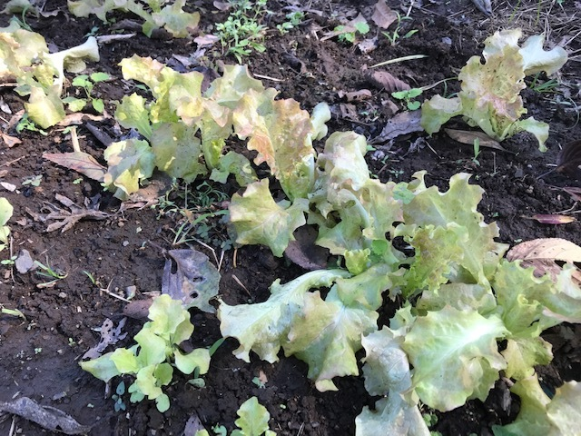 超極早生タマネギの苗50本植え付け10・18_c0014967_17593762.jpg