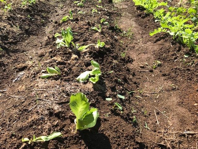 超極早生タマネギの苗50本植え付け10・18_c0014967_18002971.jpg