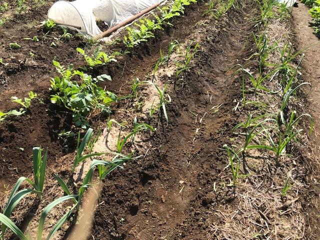 超極早生タマネギの苗50本植え付け10・18_c0014967_18010972.jpg