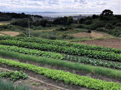 山から見る 大好きな野菜畑_a0346704_17445652.jpg