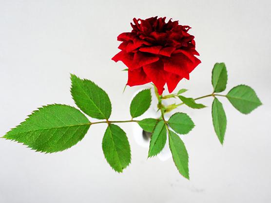 薔薇の根が!?★ムスコー2回目終了_a0383340_14362419.jpg