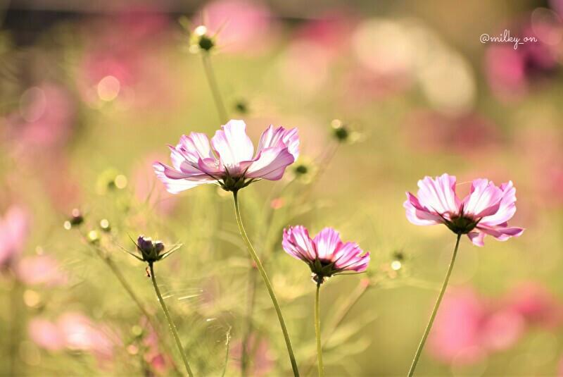 Lovely cosmos_d0177586_15585597.jpg