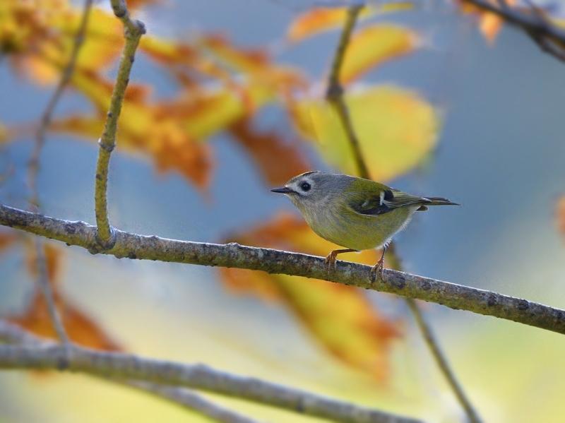 秋色のキクイタダキ(ベランダにて)_a0204089_20323868.jpg