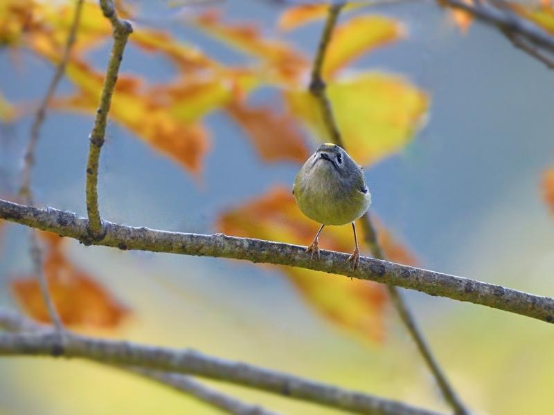 秋色のキクイタダキ(ベランダにて)_a0204089_20325994.jpg