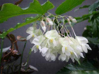 ベゴニア、開花してます♪_f0203094_14523174.jpg