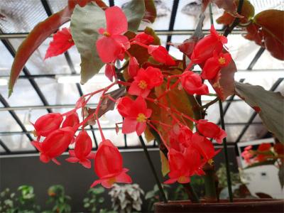ベゴニア、開花してます♪_f0203094_14530051.jpg