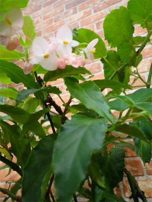 ベゴニア、開花してます♪_f0203094_14542570.jpg