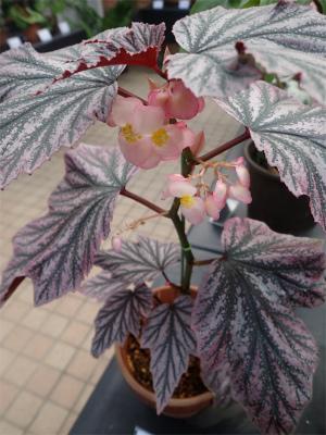 ベゴニア、開花してます♪_f0203094_14583148.jpg