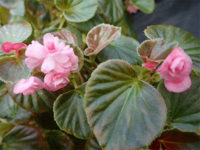 ベゴニア、開花してます♪_f0203094_15014945.jpg
