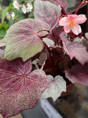 ベゴニア、開花してます♪_f0203094_15021270.jpg