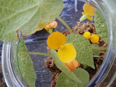 ベゴニア、開花してます♪_f0203094_15040906.jpg