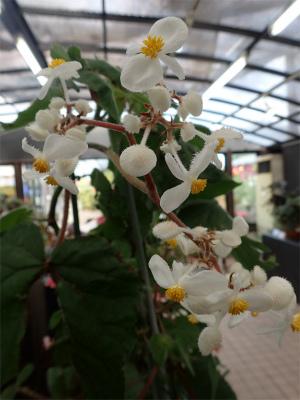 ベゴニア、開花してます♪_f0203094_15104874.jpg