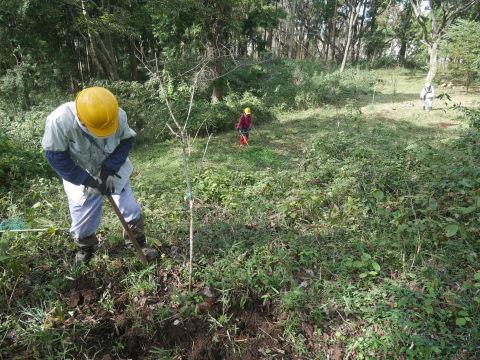 同期のサクラと実生モミジの苗木移植10・21六国見山手入れ_c0014967_14262071.jpg