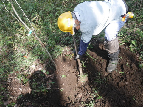 同期のサクラと実生モミジの苗木移植10・21六国見山手入れ_c0014967_14265155.jpg