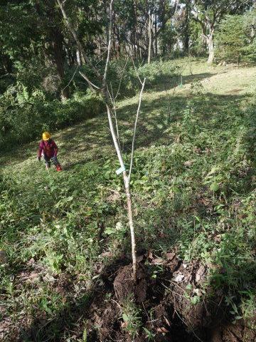 同期のサクラと実生モミジの苗木移植10・21六国見山手入れ_c0014967_14271557.jpg