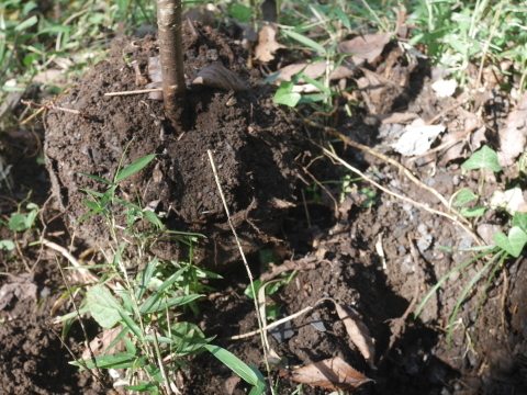 同期のサクラと実生モミジの苗木移植10・21六国見山手入れ_c0014967_14273252.jpg