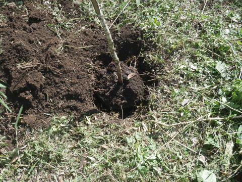 同期のサクラと実生モミジの苗木移植10・21六国見山手入れ_c0014967_14275690.jpg