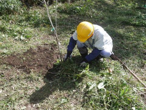 同期のサクラと実生モミジの苗木移植10・21六国見山手入れ_c0014967_14282845.jpg