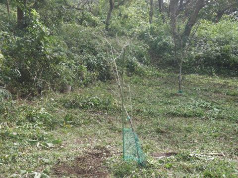 同期のサクラと実生モミジの苗木移植10・21六国見山手入れ_c0014967_14290355.jpg