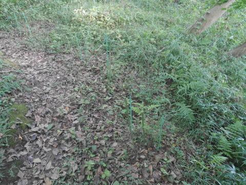 同期のサクラと実生モミジの苗木移植10・21六国見山手入れ_c0014967_14311363.jpg