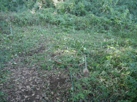 同期のサクラと実生モミジの苗木移植10・21六国見山手入れ_c0014967_14330638.jpg