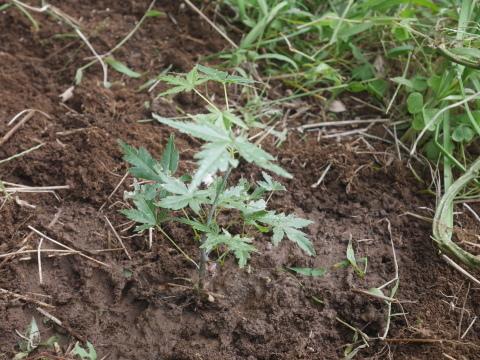 同期のサクラと実生モミジの苗木移植10・21六国見山手入れ_c0014967_14383350.jpg
