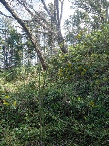 同期のサクラと実生モミジの苗木移植10・21六国見山手入れ_c0014967_14442995.jpg
