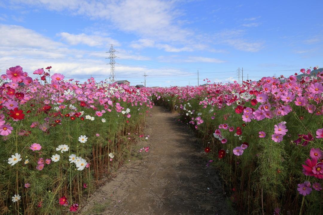 近江八幡市野田町のコスモス畑2021_b0325840_23150799.jpg