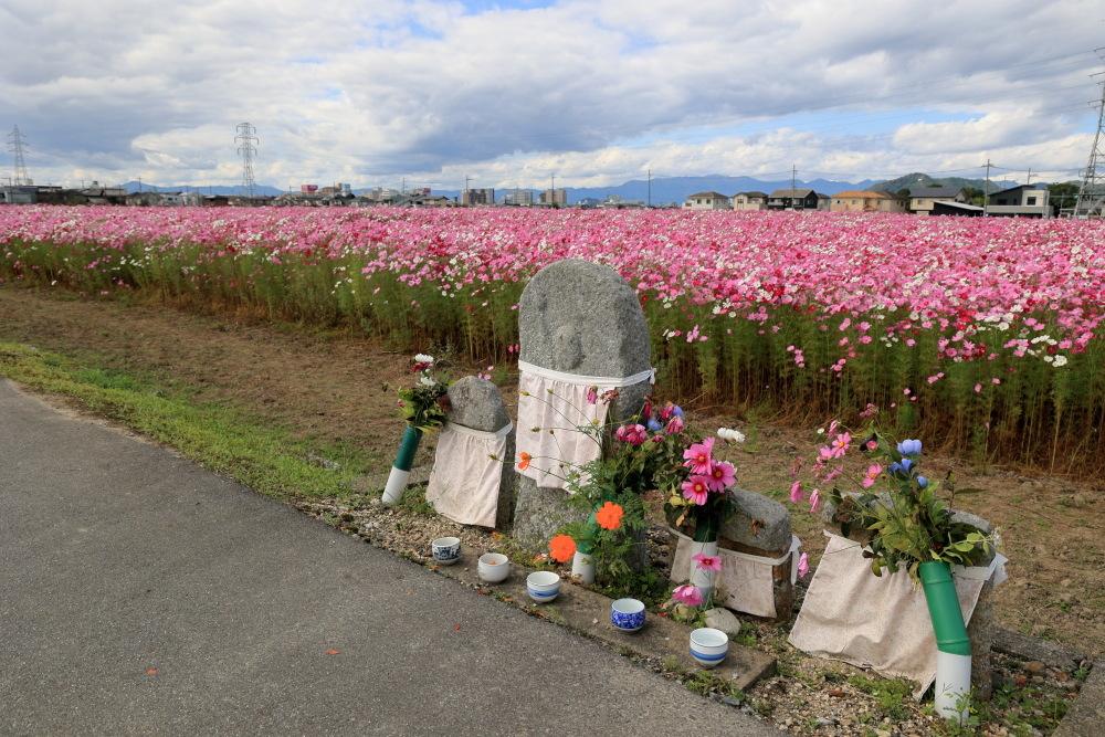 近江八幡市野田町のコスモス畑2021_b0325840_23162535.jpg