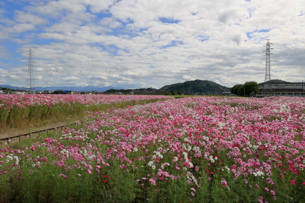 近江八幡市野田町のコスモス畑2021_b0325840_23180708.jpg