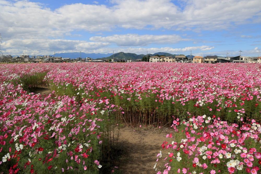近江八幡市野田町のコスモス畑2021_b0325840_23181410.jpg