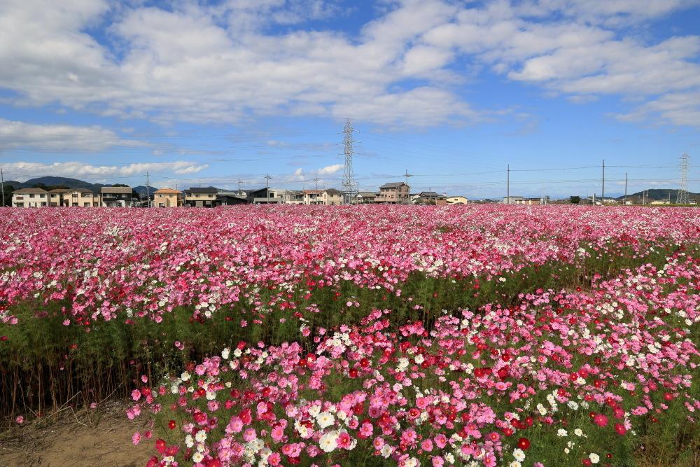 近江八幡市野田町のコスモス畑2021_b0325840_23181748.jpg