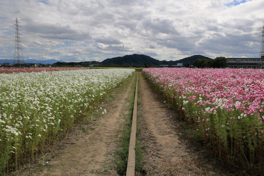 近江八幡市野田町のコスモス畑2021_b0325840_23182533.jpg