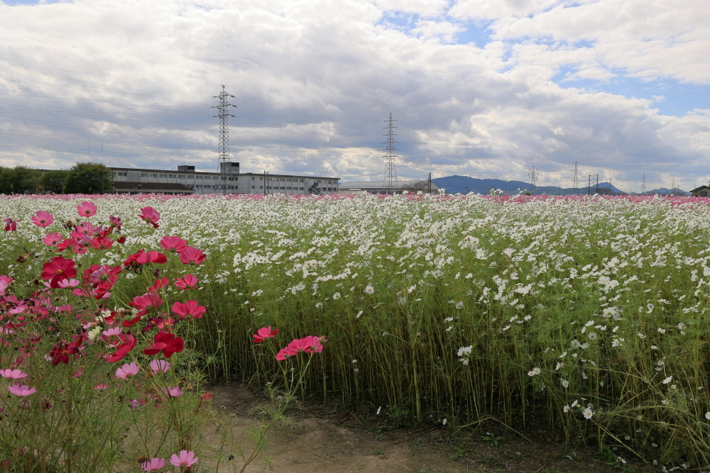 近江八幡市野田町のコスモス畑2021_b0325840_23182818.jpg