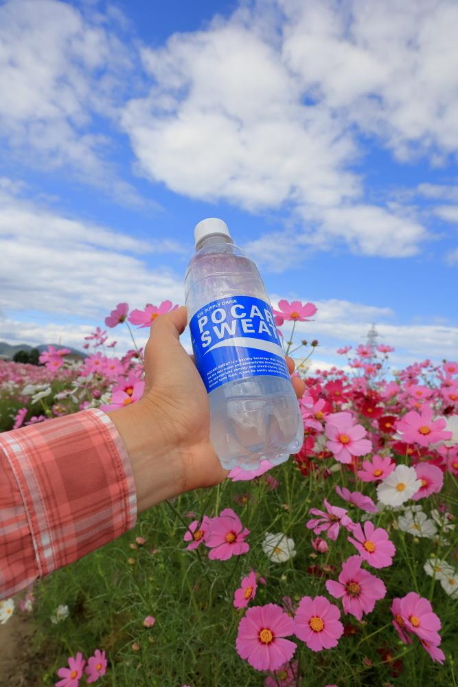 近江八幡市野田町のコスモス畑2021_b0325840_23201375.jpg