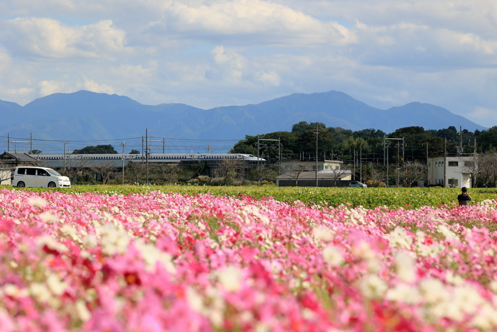 近江八幡市野田町のコスモス畑2021_b0325840_23210127.jpg