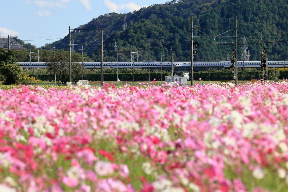 近江八幡市野田町のコスモス畑2021_b0325840_23212137.jpg