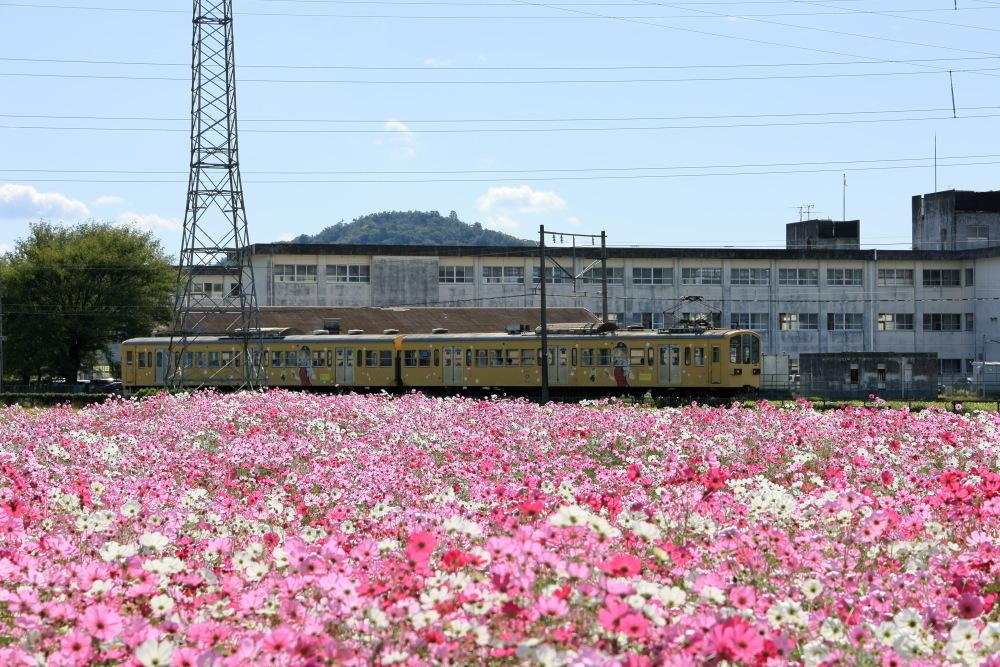 近江八幡市野田町のコスモス畑2021_b0325840_23213643.jpg